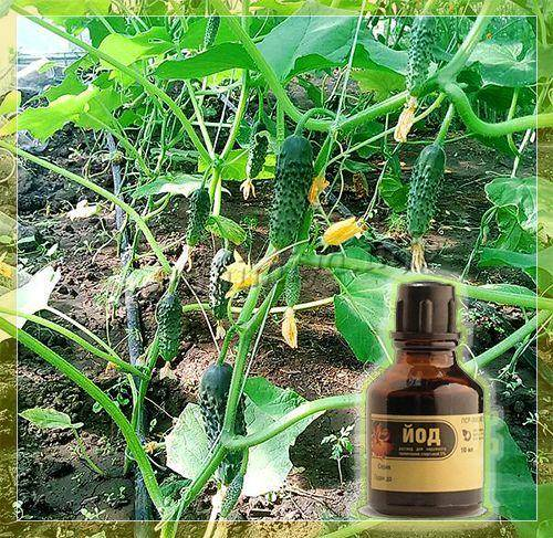 Перекись водорода – незаменимое средство для лечения и подкормки растений
