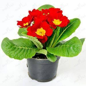 Примула: уход за цветком в домашних условиях