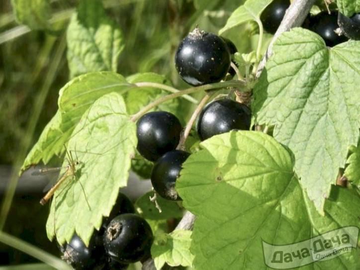 Черная смородина белорусская сладкая: описание сорта, посадка и уход с фото