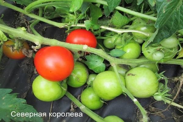 Сбор раннего урожая томатов «северенок f1» без хлопот