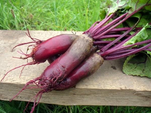 Сорта, выращивание и уход за кормовой свеклой, ее отличие от сахарной