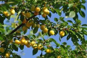 Как размножить вишню черенками и косточками: от стратификации семян до укоренения