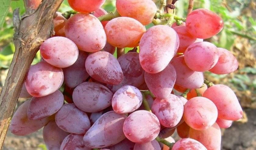 Полнокровный виноград для напитков и десертов — сорт розовый