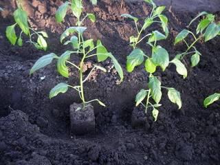 Выращивание перца: рассада, высадка в грунт, уход и полив, фото