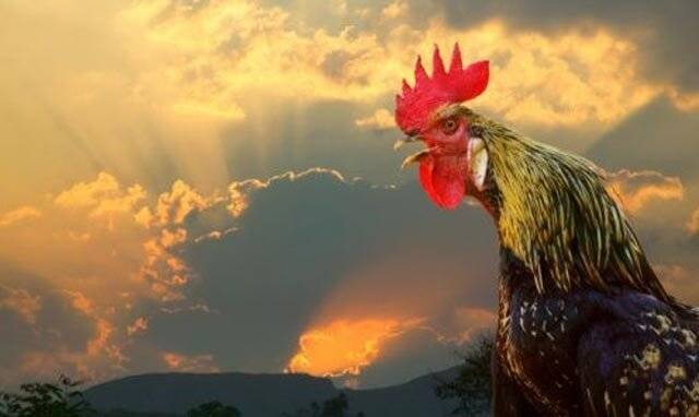 Почему петухи кукарекают по утрам?