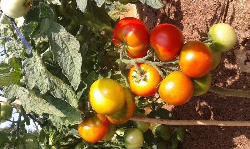 Сорт томатов дачник – фермерам и любителям
