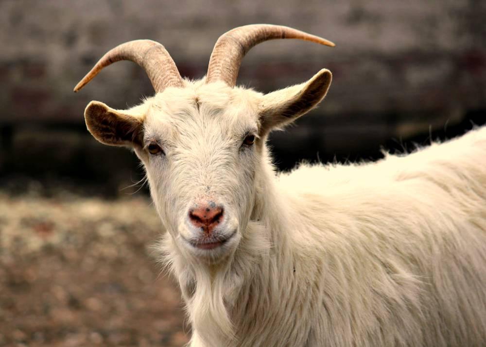 Что делать, если коза после окота не встает на ноги и методы лечения