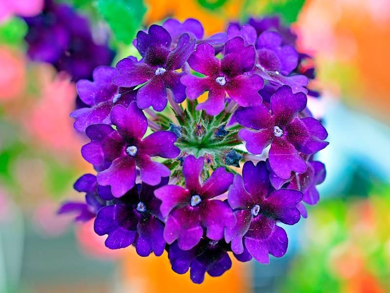 Вербена ампельная: посадка и уход, фото цветов, как сохранить зимой