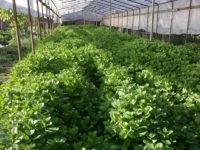 Как выращивать мяту в теплицах: основные правила