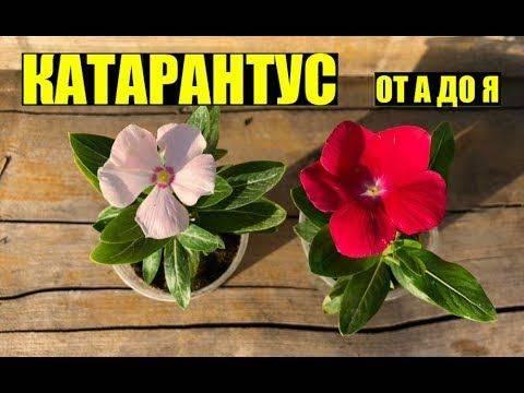 Как правильно выращивать катарантус в открытом грунте