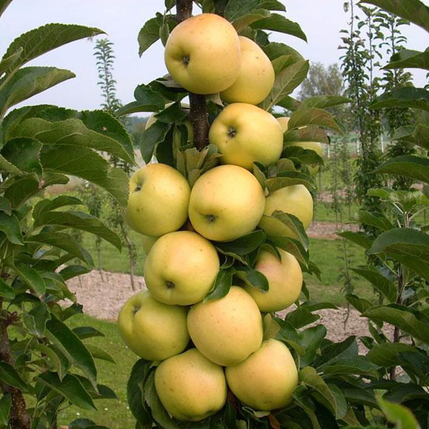яблоня медовая фото описание началом работ