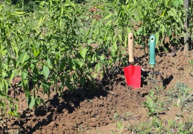 Как подкормить золой перцы в теплице и открытом грунте