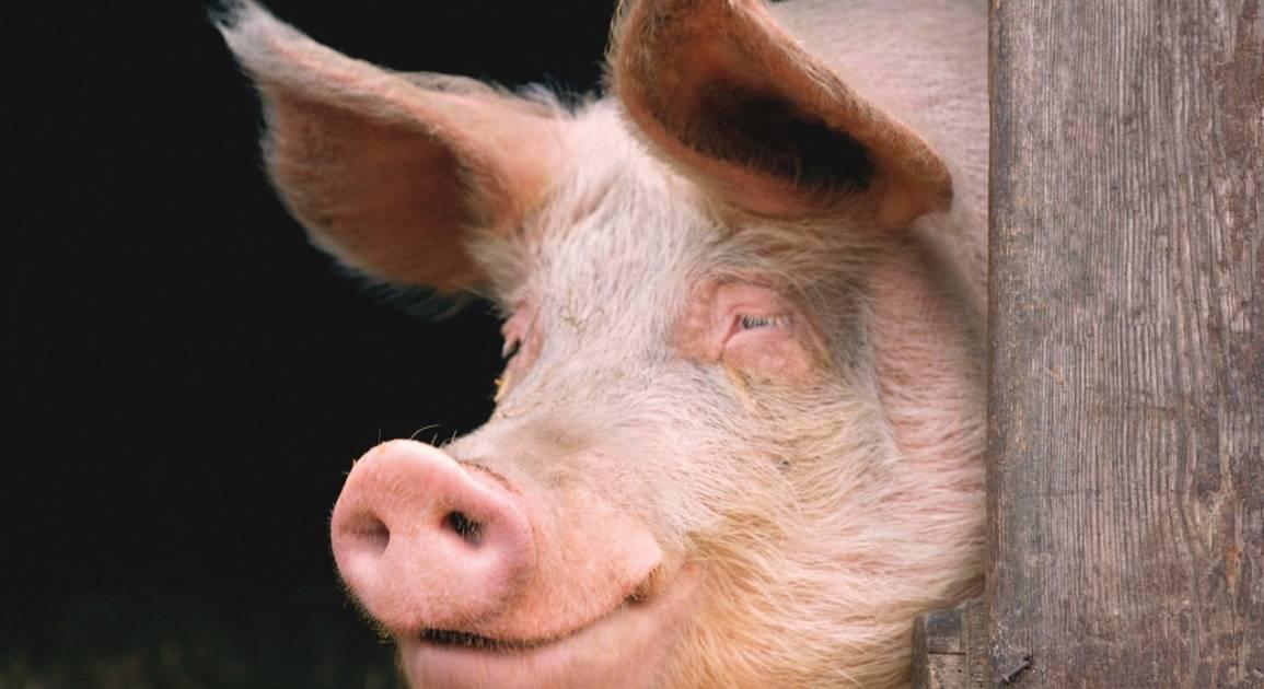 Как построить свиноферму своими руками