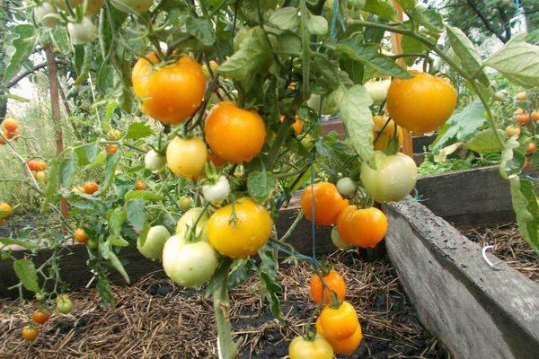 Царская ветка: величественный сорт томата. описание и отзывы о выращивании