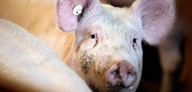Короста у свиней: причины болезни, первые симптомы, правила лечения и профилактики