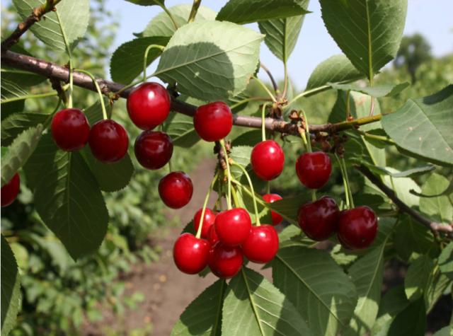 Высаживание и уход за яблонями весной, летом и осенью