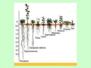 Какой длины корень у огурца и почему это важно знать огороднику?