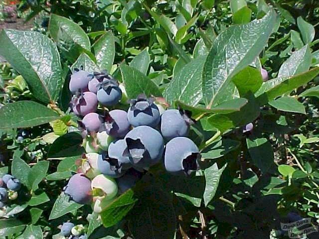 Голубика «дюк»: описание сорта и рекомендации по выращиванию