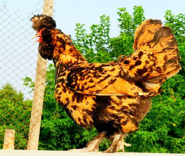 Павловская курица: описание породы