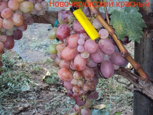 Один из старых селекционных сортов винограда «магарач»