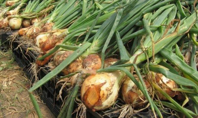 Лук-севок шетана: особенности сорта и выращивания