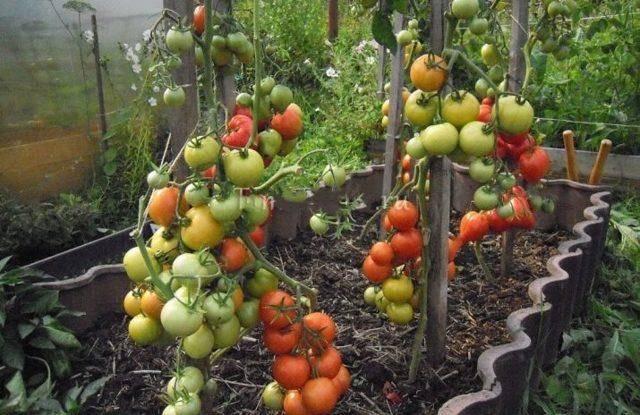Сортовая характеристика томата иришка