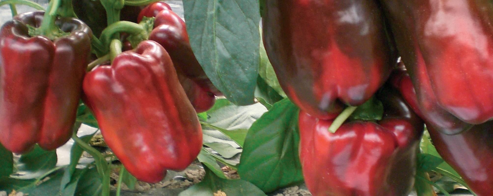 Посадка, технология выращивания и уход за перцем в открытом грунте