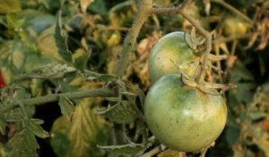 Почему чернеют помидоры — 130 фото самых простых и эффективных методов лечения томатов