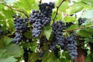 Описание и достоинства винограда сорта Кристалл, особенности посадки и ухода