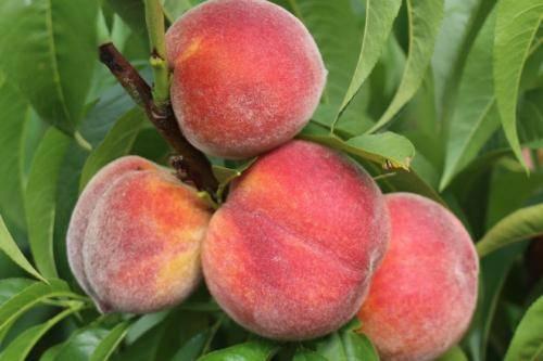 Как посадить персик в весенний период?