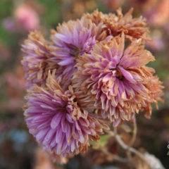 Болезни хризантем и их лечение – признаки болезни, чем опрыскивать + фото