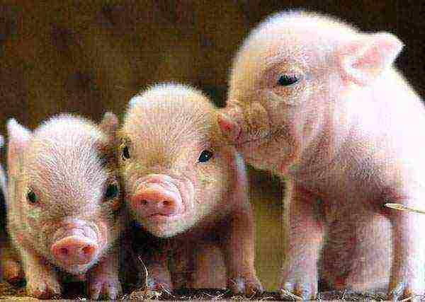 Правила и нормы содержания свиней