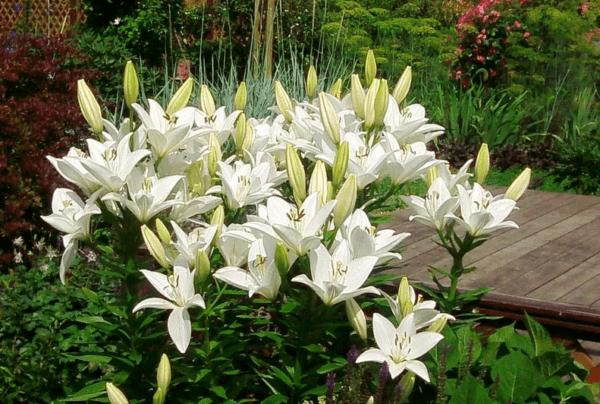 Лилия «марлен»: описание сорта, его посадка, уход и варианты размножения