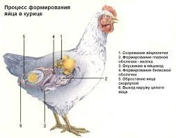 Сколько в день может нести курица яиц, когда несется лучше: читаем суть