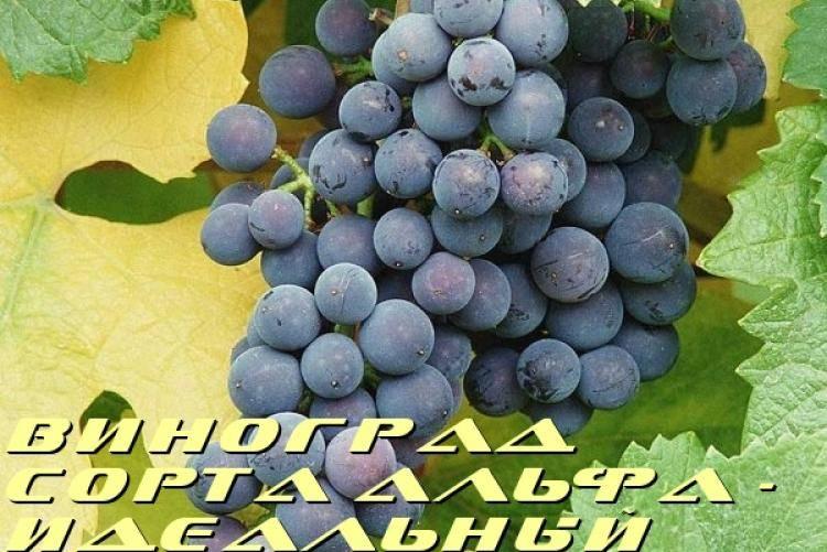 Виноград августин: история выращивания, описание и характеристика