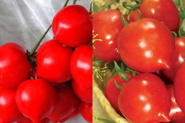 Сорт томата «юбилейный тарасенко»: описание, характеристика, посев на рассаду, подкормка, урожайность, фото, видео и самые распространенные болезни томатов