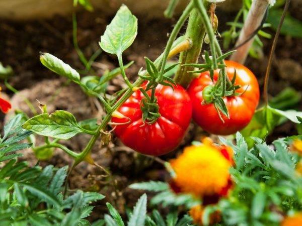 Томат сам растет: характеристика и описание сорта, урожайность с фото