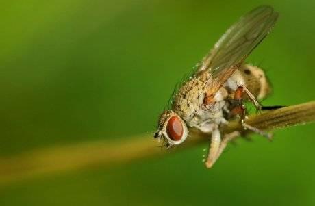Эффективные методы борьбы с луковой мухой