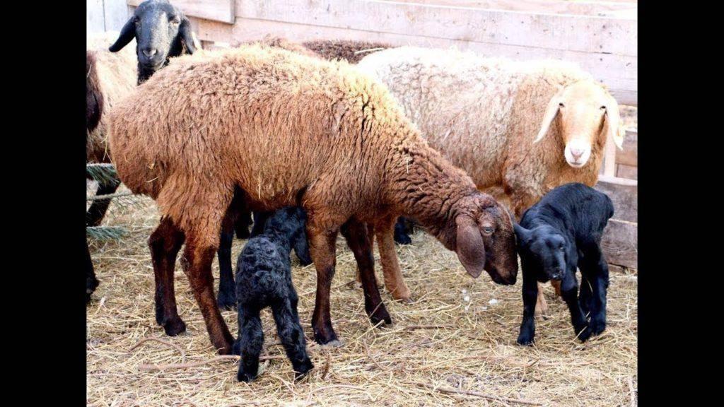 Болезни баранов и их лечение. кашель у овец: причины, симптомы, лечение