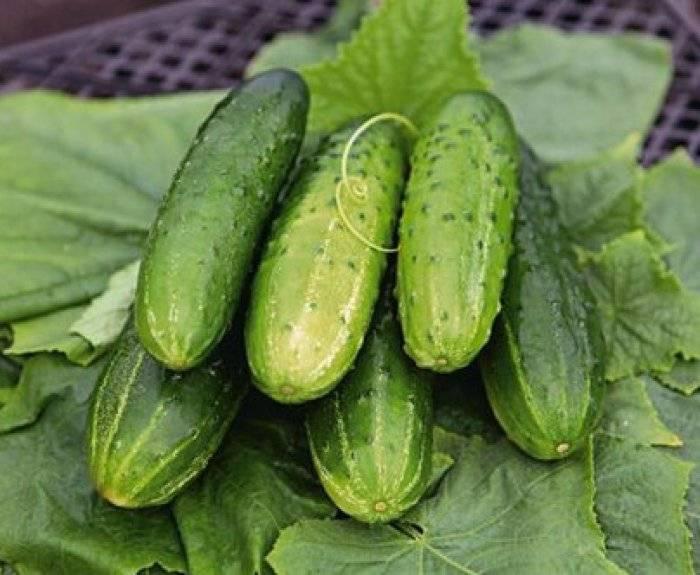 Огурцы сорта кураж f1 – высокая урожайность в сжатые сроки