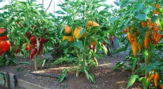 Как использовать золу для подкормки рассады перца и помидоров