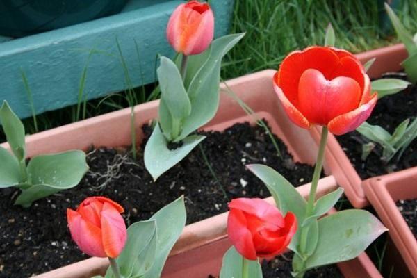 Когда и как сажать тюльпаны на Урале осенью, особенности выращивания
