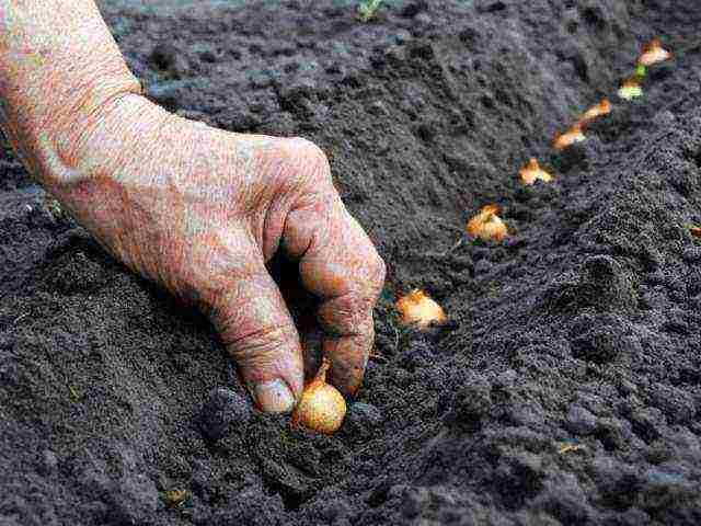 Выращивание лука-шалота в открытом грунте. особенности посадки и правила ухода