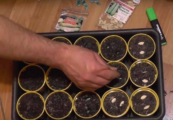 Как и когда правильно сажать кабачки семенами в открытый грунт в 2020 году