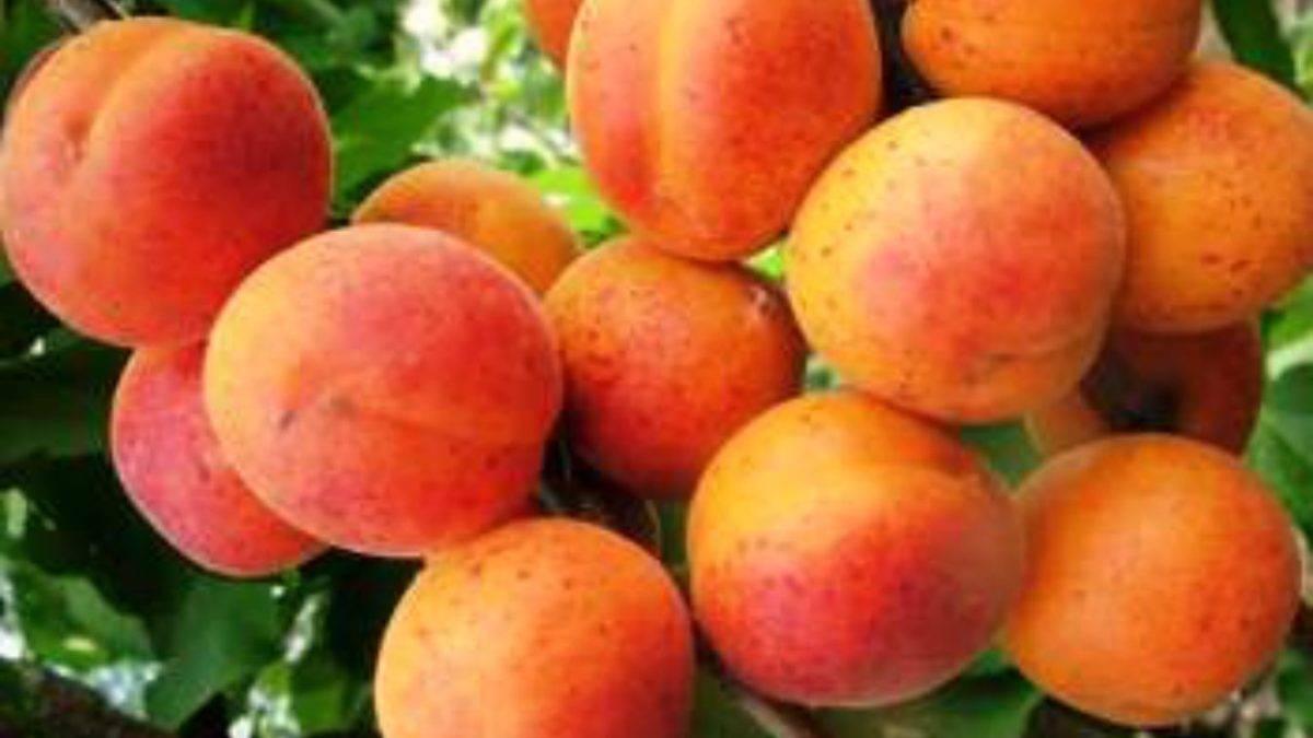 Что делать, если любимая яблоня не плодоносит
