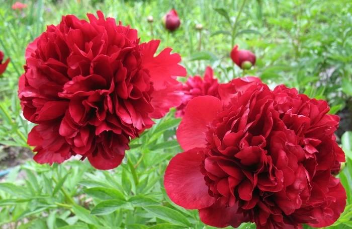 Описание и характеристики пиона сорта Генри Бокстос, выращивание