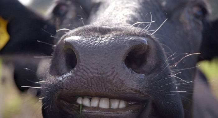 Количество зубов у барана и строение челюсти, как по ним определить возраст