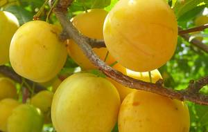 Описание сливы сорта Яхонтовой, опылители, выращивание и уход