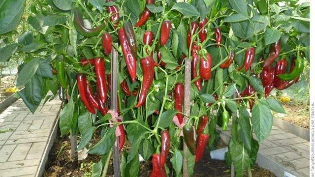 Перец «какаду»: урожайный при правильной агротехнике
