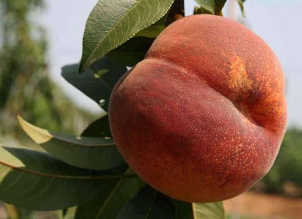 Персик посадка и уход в средней полосе. особенности выращивания персиков в средней полосе